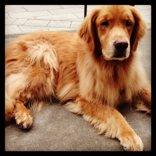 ...this is golden retriever number 1{an homage to westminster}