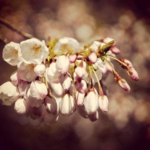 cherry blossoms . no 1